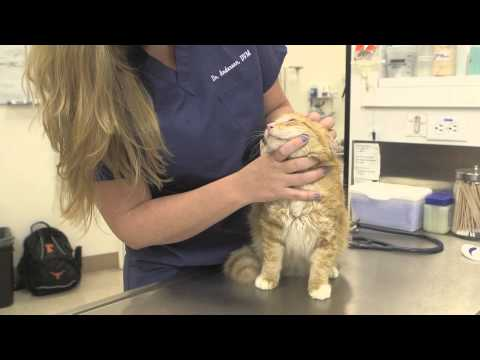 Acute Food Allergies in Cats : General Cat Health